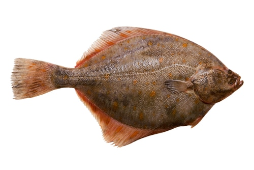 Flounder as substitute for halibut