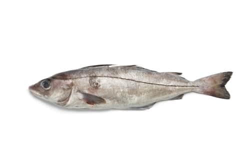 Haddock fish similar to halibut