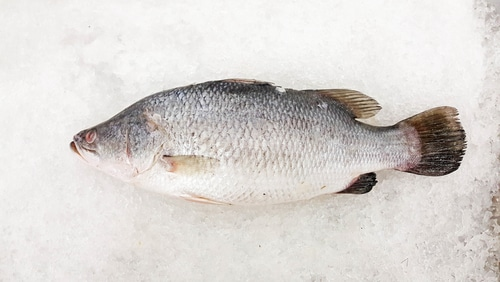 Striped Bass as halibut substitute
